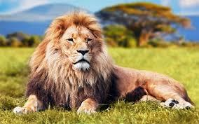 Nằm mơ thấy sư tử là điềm gì, đánh con gì?