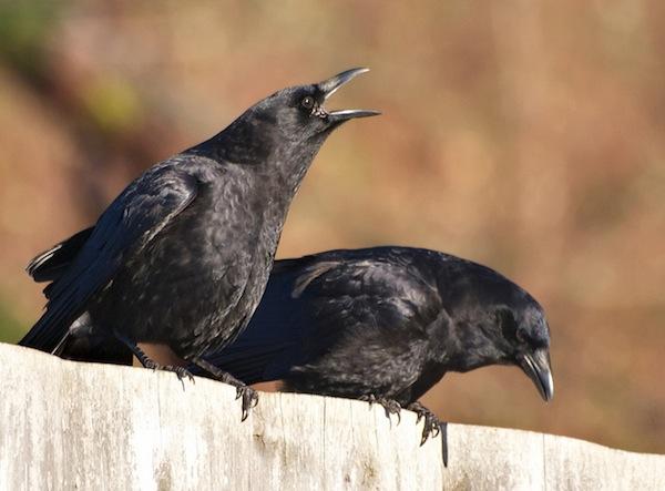 Nằm mơ thấy con quạ đánh số gì? Là điềm gì?