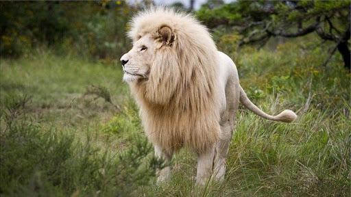 Thông điệp giấc mơ thấy con sư tử là điềm báo gì? Tốt hay xấu?