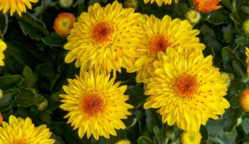 Nằm mơ thấy hoa cúc điềm báo gì, lành hay dữ? Là số mấy?
